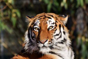 Avantura sa tigrovima na safariju u Rusiji