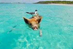 Neobične atrakcije: Rajske svinje na Bahamima