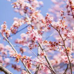 Kako uloviti festival trešnjinog cveta?
