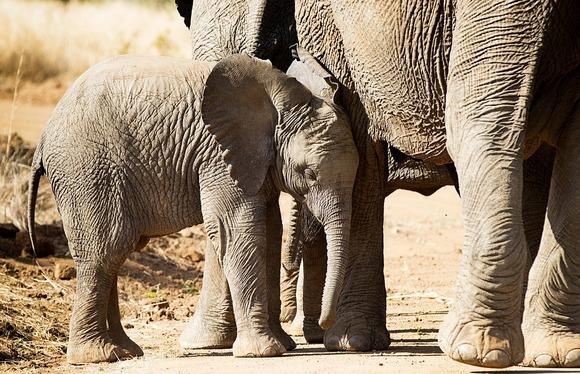 Slonovi su cenjeni trofeji među lovcima
