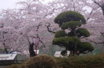 Festival cvetanja trešnje, Hirosaki, Honšu, Japan