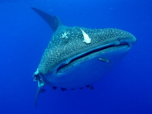 Kit ajkule su najveća atrakcija ostrva Sveta Jelena