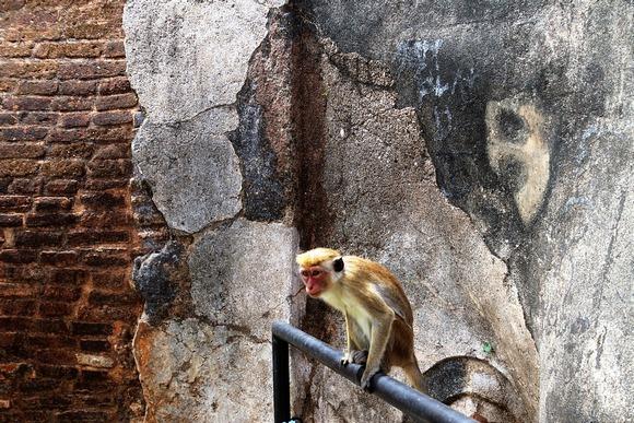 Makaki majmuni su svakako simpatični, ali su veoma vešti kradljivci