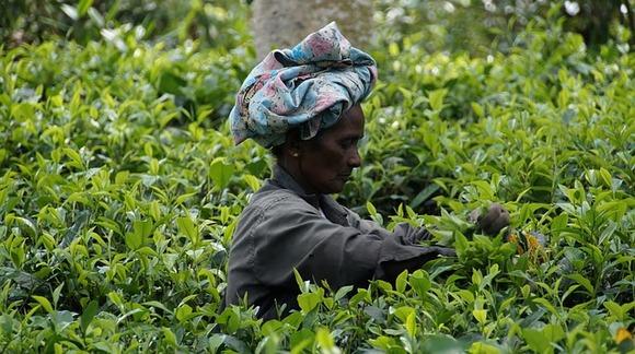Branje čaja na Šri Lanki