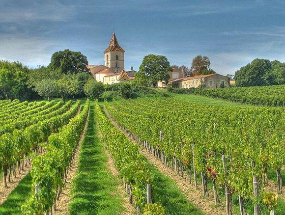 Vinograd u neposrednoj blizini Bordoa