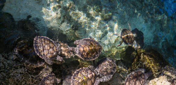 Kako su kornjače zamenile turiste u Tajlandu