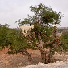 Dolina argana – priča o jedinstvenom blagu Maroka i najskupljem ulju na svetu